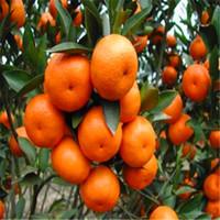 30 pezzi / borsa semi arancione semi di casa pianta deliziosi semi di frutta molto grande e dolce per la casa giardino Pianta S004