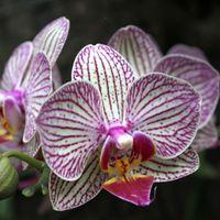 Фаленопсис Мотылек орхидея цветок семян США выросли розовый с фиолетовыми пятнами 2015 украшения сада завод 20 шт. F62