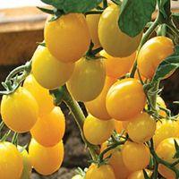 Семена желтой вишни томатный карамель Zholtaya F1 органические российские семя веревника 100 шт. S030