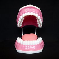 Dentist' s Tooth Brushing Model Orthodontic Dental Hygie...