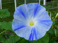 Climbing vine Flying Saucers Ipomoea Tricolor Morning Glory seeds garden decoration flower 20pcs D95
