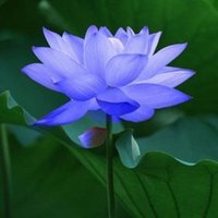 Bowl lotus/water lily flower /Bonsai Lotus seeds /Sapphire Lotus garden decoration plant 10pcs F130