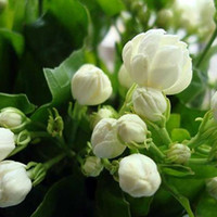 20seeds / bag Jasmin Samen Indoor-Pflanzen ausdauernde Blumensamen