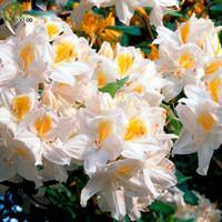 Schöne weiße Azalea-Samen-Blumensamen Innen-Bonsai-Anlage 100 Partikel / Los G010