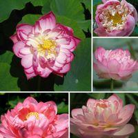 Sementes de flores cor-de-rosa lótus flor sementes jardim decoração planta 10pcs f107