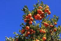 Tangerine Mandarin Orange Graines d'agrumes Graines d'arbre de fruits d'agrumes Plante de décoration de jardin 30pcs D11