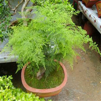 30 Stücke Heißer Topf bambus Samen Bonsai blumensamen Hausgarten blume sementes de frutas D030