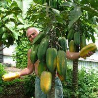 분재 식물 파파야 씨앗 맛있는 과일 정원 장식 공장 20pcs B16