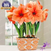 오렌지 색 4 구근 - Amaryllis 구근, True Hippeastrum 구근 꽃 (씨앗이 아님)