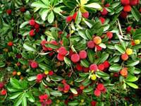 waxberry 10 입자 / 가방 Arbutus Unedo 딸기 나무 맛있는 중국 과일 씨앗 건강한 가정 정원 용이 한 성장