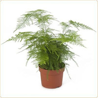 25 Asparagus Fern Seeds Plumosa Lace Fern Excellent for DIY ...