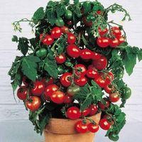 2016 Precipitò nuove piante all'aperto Promozione giardino pomodoro seme in vaso bonsai balcone frutta verdure semi 200 pz
