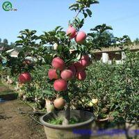Contiene frutas vitaminas Semillas de manzana Verdes orgánicos verdes y semillas de frutas Deliciosas 30 partículas / lote v011