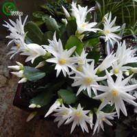 Краб Кактус семена цветок семена крытый бонсайский завод 30 частиц / лот F014