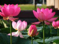 Bonsai Lotus / Lírio de água flor / tigela-lagoa sementes de lótus rosa senhora lótus jardim decoração planta 10pcs f135