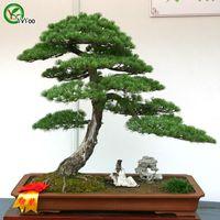 بذور شجرة السرو بونساي بذور شجرة جميلة جدا شجرة داخل المنزل حديقة النبات 50 جزيئات / كيس W012