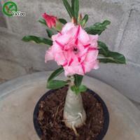 Desert Rose Seeds Bonsai Flor Flor Sementes Muito Perfumado 5 Partículas / Lot B015