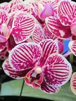 Phalaenopsiss моль орхидея семена цветка выращены розовый с белыми полосами садовые украшения завод 20 шт. F64