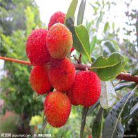 Heißer Verkauf 10pcs / Tasche Rot Bayberry Seltene Fruchtsamen Bonsai-Pflanze Hausgarten A070