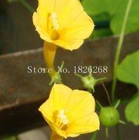 Flower seeds Yellow Morning Glory Flower Seeds Climbing plants seeds 100pcs