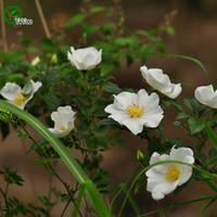 Cherokee Semillas de rosa semillas de flores raras DIY Home Garden Plant Fácil de cultivar 50 partículas / lote H08
