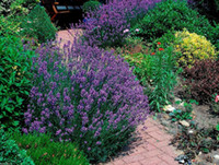 Семена цветов лаванды - английский органический, без ГМО, высокое качество,необработанные семена-многолетние украшения сада завод 20 шт. D57