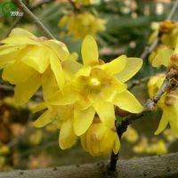 Chimonanthus Seecox Seeds Bonsai Семена деревьев Очень красивые Крытое дерево Домашнее садовое растение 5 шт. Частицы / G015
