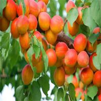 5pcs 큰 과일 살구 나무 씨앗 DIY 정원 과일 씨앗 화분 식물, 정원 용품, 분재, 집 A030