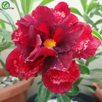 사막 장미 씨앗 분재 꽃 씨앗 화분 식물 꽃 5 입자 / 가방 B010
