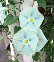 Climbing vine BLUE STAR MORNING GLORY FLOWER SEEDS VINE LOADS OF BLOOMS garden decoration flower 20pcs D91