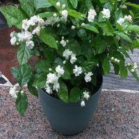 wholesale20 semi / pacchetto Balcone in vaso semi di gelsomino facile piantare semi stagioni soplant bonsai
