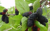 200 pz / lotto vendita calda Morus alba L. gelso nero semi di fragola per giardino domestico di casa semi di Frutta