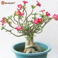 Semi di rosa del deserto Semi di fiori in vaso Adenium Obesum Colore Opzionale 100% True Seed Fucilazione in contanti 1 Particelle / lotto
