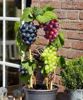 50 teile / beutel trauben samen Miniatur Weinrebe Samen Bio obst samen Sukkulenten süßes essen einfach zu pflanzen für garten
