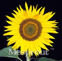 50PCS 미니 Helianthus 레드 해바라기 씨앗 초안 레드 Sun Fortune Bloom 정원 가보 종자 분재 식물 종자 OM