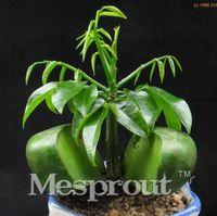 2016 green lingote venda 100% real semente de sementes de frutas perenes interior quarto bonsai sementes - 5 PCS