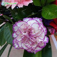Белый фиолетовый край гвоздики семена балкон горшках двор садовые растения семена Dianthus Caryophyllus семена цветов