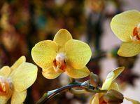Sementes de orquídea hidropônica amarelo, flores de interior bonsai quatro estações, Orquídeas Phalaenopsis - 50 pcs sementes