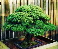 Bonsai samen 50 stücke Japanische Weiße Fichte Kiefer, Pinus parviflora, Baum Samen Bonsai Evergreen DIY Hausgartenarbeit!