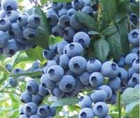 분재 달콤한 블루 베리 씨앗 과일 씨앗 다년생 꽃 냄비 경작 자 50 종 / 팩 과일 씨앗