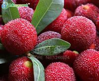 5PCS Myrica Rubra 씨앗, 중국 레드 Bayberry, Myrica rubra 즙이 많은 달콤한 과일 식물 Waxberry Tree Bonsai