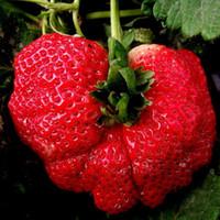 100 Samen Super Riese Erdbeer Obst Samen Garten Und Garten Balkon Topf Erdbeere Samen