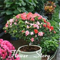 Wholesale10pcs / paketi için Çin Çay Çiçek tohumları bonsai bitki DIY çay sağlıklı lifeplant bonsai