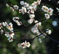 Plum Blossom Armeniaka MoMe Sieb Śliwka Nasiona kwiatów Aromatyczne wieloletnie nasiona kwiatów Wintersweet Nasiona