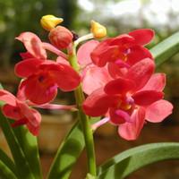 wholesal100 핑크 Cymbidium 종자 화분 꽃 씨앗 매미 난초 Plantsbonsai 식물 정원