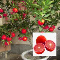 20 PC 붉은 레몬 씨앗 새로운 도착 Drawf 나무 분재 정원 식물에 대 한 유기 과일 씨앗 쉽게 성장 이국적인 씨앗을 심은