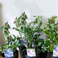 5 tipi di categorie semi di mirtillo viola davanzale tetto seme di frutta in vaso pianta bonsai pianta vaccino seme un pacchetto 200 pezzi