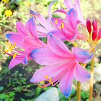 wholesale100 Blue Pink Lycoris Semillas Planta de maceta Semilla Lycoris Radiata Flor Seedsbonsai planta jardín