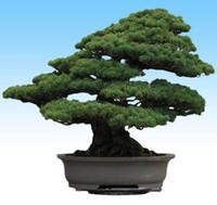 Japonés Negro Pino árbol Bonsái Semillas De Jardín (Pino thunbergii)