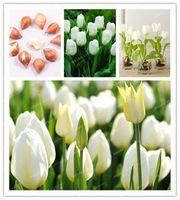 الجملة 5 قطع المصابيح صحيح لمبات توليب الأبيض (وليس بذور الخزامى) ، الزنبق متنوعة بونساي نبات منتفخ الطازجة